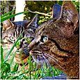 Hemingway et Sisley deux des chats de Sacha