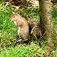 scoiattolo a Nervi