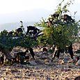 Nmarocco capre in mensa