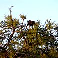 Marocco capra arrampicatrice