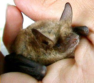 Pipistrello (2)