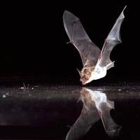Pipistrello sul'acqua