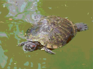 Tartaruga che nuota nel laghetto