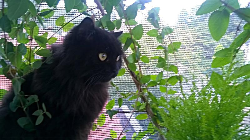 Salem caprifoglio bella