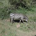Mamma zebra