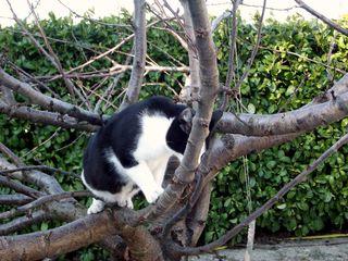 Calinou cerisier