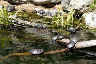 -tartarughe d'acqua dolce al sole