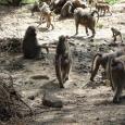 Comunità di scimmiotte