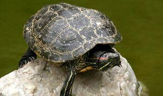 Tartaruga roccia
