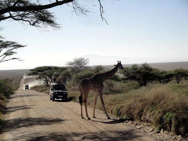 Giraffa in attravarsamento