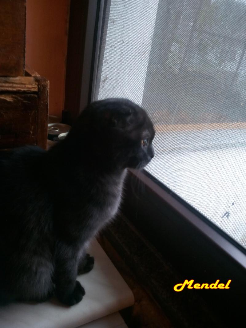 Mendel finestra