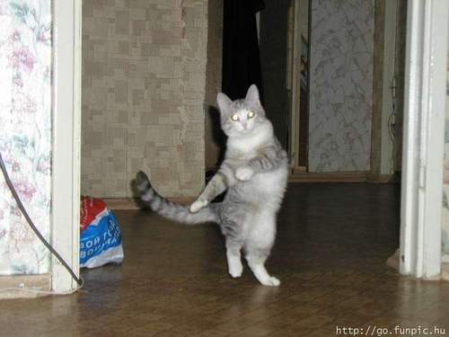 Gatto ballerino