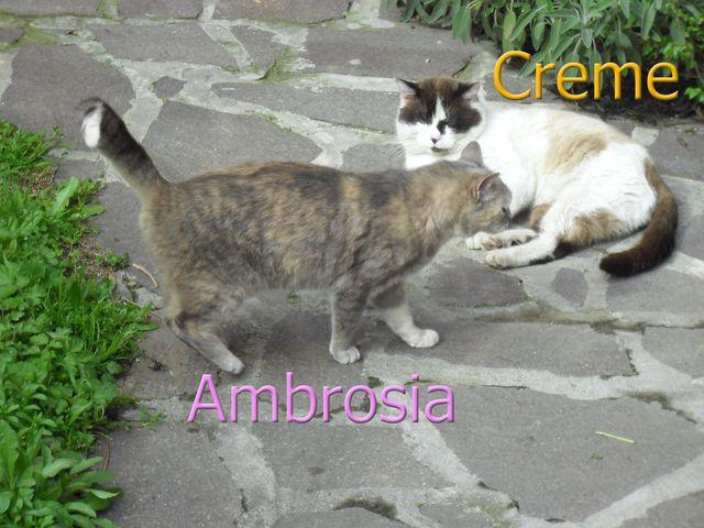 Ambrosia creme