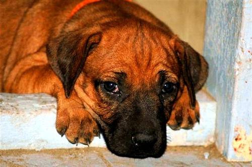 ottima imitazione di cane povero